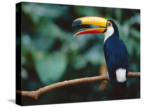 Toco Toucan in Tree, Igazu National Park, Brazil, Iguassu-Staffan Widstrand-Stretched Canvas Print