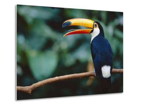 Toco Toucan in Tree, Igazu National Park, Brazil, Iguassu-Staffan Widstrand-Metal Print