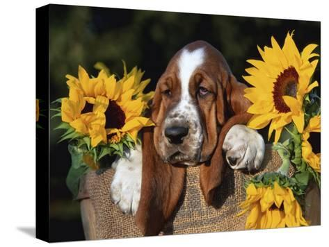 Bassett Hound Pup with Sunflowers-Lynn M^ Stone-Stretched Canvas Print