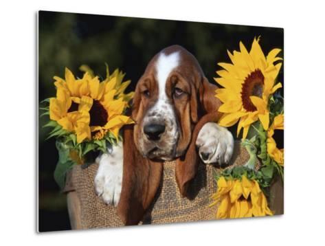 Bassett Hound Pup with Sunflowers-Lynn M^ Stone-Metal Print