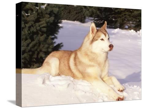 Siberian Husky Resting in Snow, USA-Lynn M^ Stone-Stretched Canvas Print