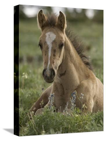 Mustang / Wild Horse Colt Foal Resting Portrait, Montana, USA Pryor Mountains Hma-Carol Walker-Stretched Canvas Print