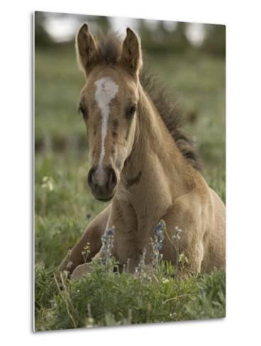 Mustang / Wild Horse Colt Foal Resting Portrait, Montana, USA Pryor Mountains Hma-Carol Walker-Metal Print
