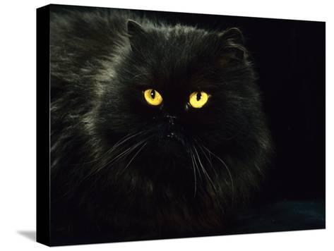 Domestic Cat, Black Persian Female at Night, Yellow Eyes Shining-Jane Burton-Stretched Canvas Print