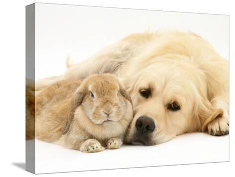 Sandy Lop Rabbit Resting with Golden Retriever Bitch-Jane Burton-Stretched Canvas Print