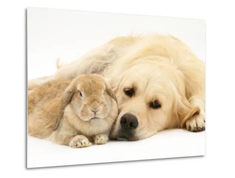 Sandy Lop Rabbit Resting with Golden Retriever Bitch-Jane Burton-Metal Print