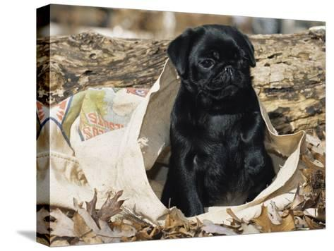Pug Puppy in Sacking, USA-Lynn M^ Stone-Stretched Canvas Print