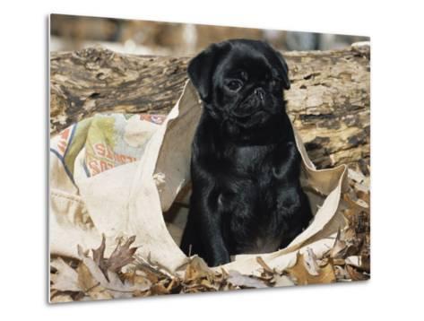 Pug Puppy in Sacking, USA-Lynn M^ Stone-Metal Print