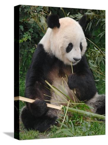 Giant Panda, Eating Bamboo-Eric Baccega-Stretched Canvas Print