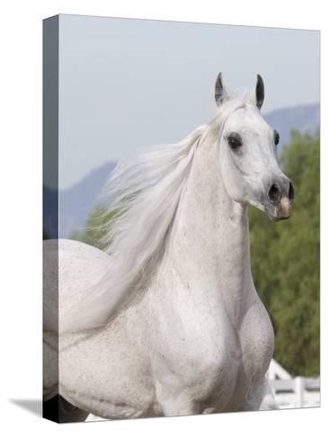 Grey Arabian Stallion Portrait, Ojai, California, USA-Carol Walker-Stretched Canvas Print