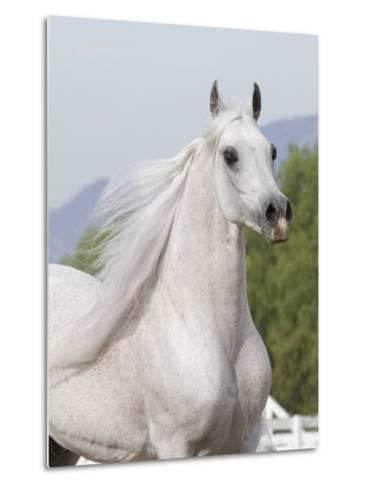 Grey Arabian Stallion Portrait, Ojai, California, USA-Carol Walker-Metal Print