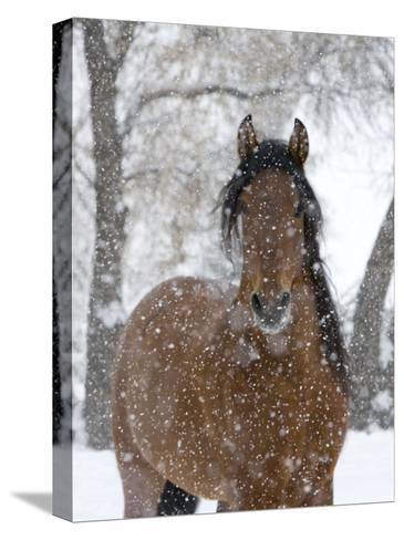Bay Andalusian Stallion Portrait with Falling Snow, Longmont, Colorado, USA-Carol Walker-Stretched Canvas Print