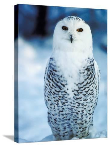 Snowy Owl Standing in Snow--Stretched Canvas Print