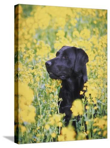Labrador Retriever in Field of Yellow Flowers--Stretched Canvas Print
