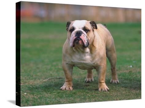 Bulldog Standing in Grassy Field--Stretched Canvas Print