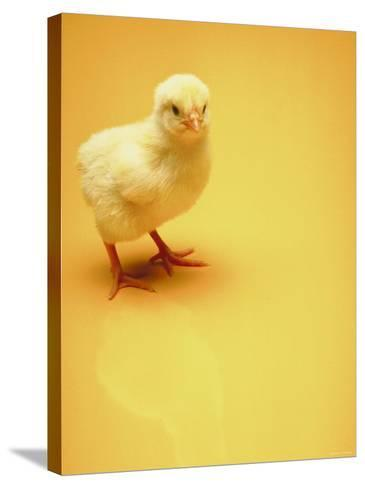 Adorable Baby Chick Standing on Yellow Background--Stretched Canvas Print