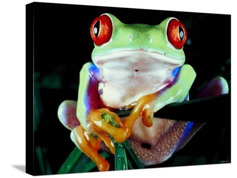 Frog with Red Eyes Perched on Tree Stick--Stretched Canvas Print