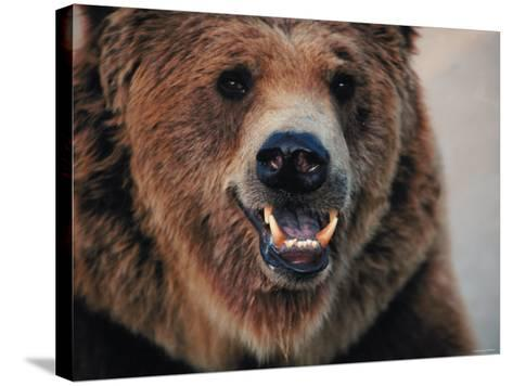 Close Up of Brown Bear Showing Teeth--Stretched Canvas Print
