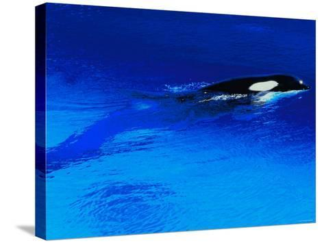 Killer Whale Coming Out of the Surface of the Ocean--Stretched Canvas Print