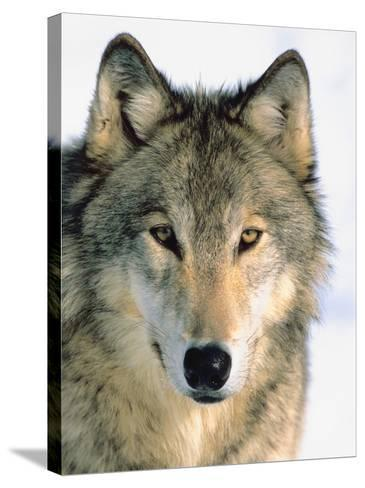 Close Up of Gray Wolf Head in Nature--Stretched Canvas Print