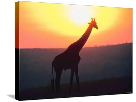 Giraffe Standing in Nature and Silhouetted by Glowing Sunset--Stretched Canvas Print