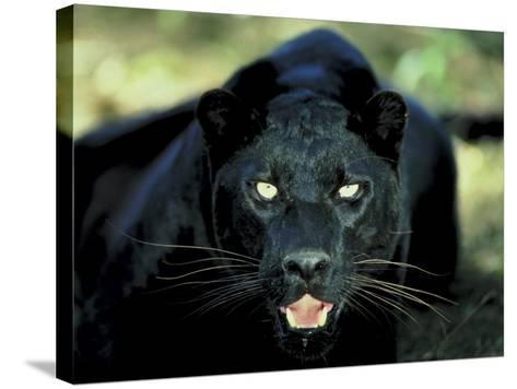 Close Up of Wild Black Leopard Showing Teeth--Stretched Canvas Print