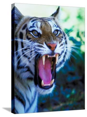 Head Shot of Angry Growling Tiger--Stretched Canvas Print