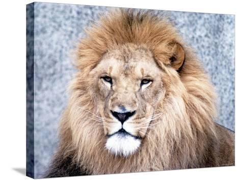 Close Up of African Lion in the Wild--Stretched Canvas Print