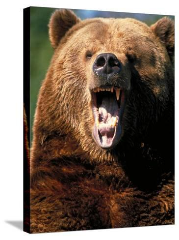 Angry Brown Bear Growling and Showing Teeth--Stretched Canvas Print