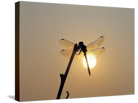 Silhouette of Dragonfly Perched on Edge of Stick at Sunset--Stretched Canvas Print