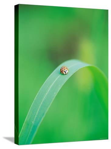Ladybug Sitting in the Middle of a Leaf--Stretched Canvas Print