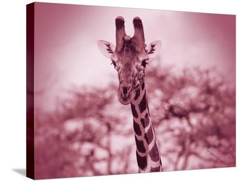 Giraffe in the Wild--Stretched Canvas Print