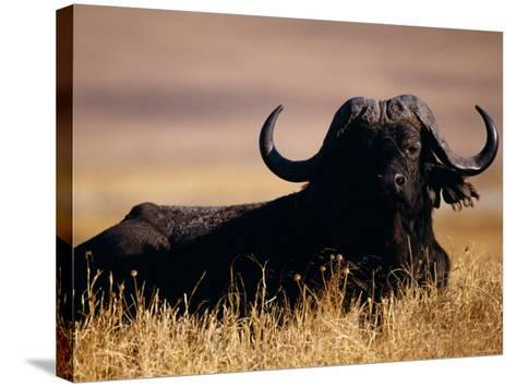 Large Water Buffalo Lying Down in Tall Dry Grass--Stretched Canvas Print