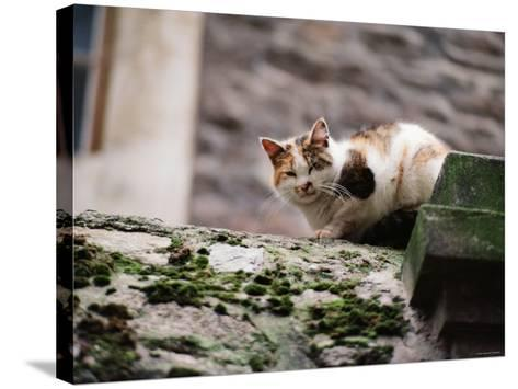 Cat Crouch on Rocky Moss-Covered Surface--Stretched Canvas Print