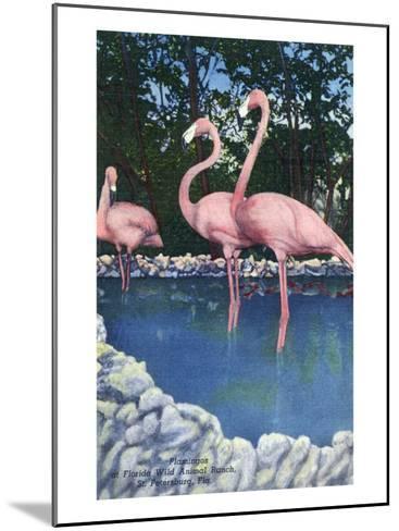 St. Petersburg, Florida, View of Pink Flamingos at Florida Wild Animal Ranch-Lantern Press-Mounted Art Print