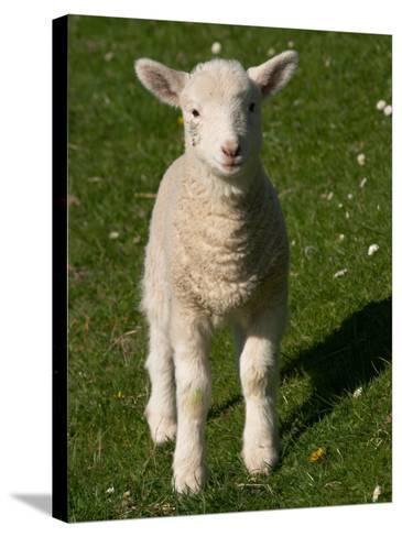 New Lamb, near Dunedin, South Island, New Zealand-David Wall-Stretched Canvas Print