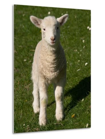 New Lamb, near Dunedin, South Island, New Zealand-David Wall-Metal Print