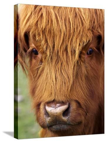 Scottish Cow, Deer Park Heights, Queenstown, South island, New Zealand-David Wall-Stretched Canvas Print