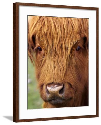 Scottish Cow, Deer Park Heights, Queenstown, South island, New Zealand-David Wall-Framed Art Print