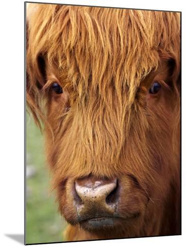 Scottish Cow, Deer Park Heights, Queenstown, South island, New Zealand-David Wall-Mounted Photographic Print