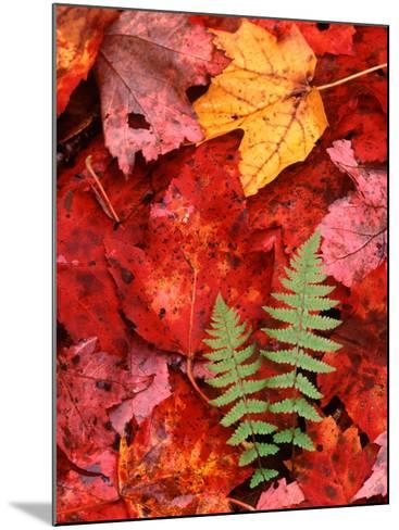 Fallen Maple Leaves and Ferns-Charles Sleicher-Mounted Photographic Print
