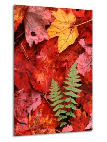 Fallen Maple Leaves and Ferns-Charles Sleicher-Metal Print