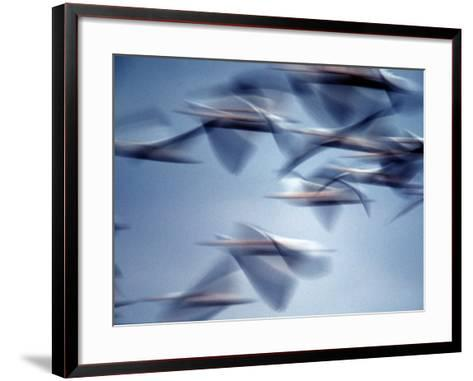Snow Geese in Flight at the Skagit Flats, Washington, USA-Charles Sleicher-Framed Art Print
