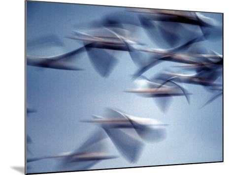 Snow Geese in Flight at the Skagit Flats, Washington, USA-Charles Sleicher-Mounted Photographic Print