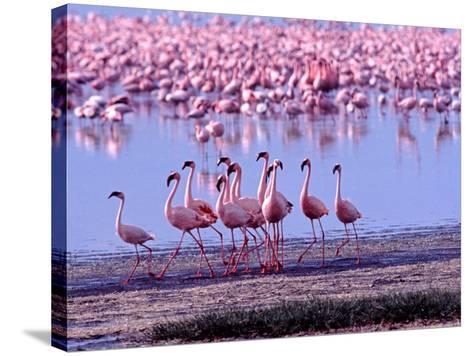Lesser Flamingo and Eleven Males in Mating Ritual, Lake Nakuru, Kenya-Charles Sleicher-Stretched Canvas Print