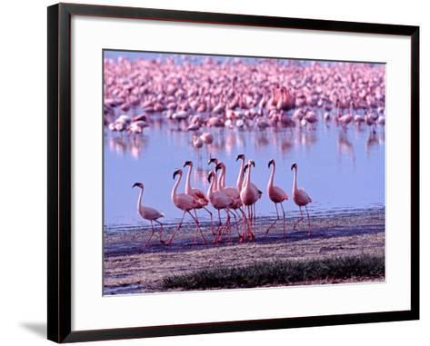 Lesser Flamingo and Eleven Males in Mating Ritual, Lake Nakuru, Kenya-Charles Sleicher-Framed Art Print