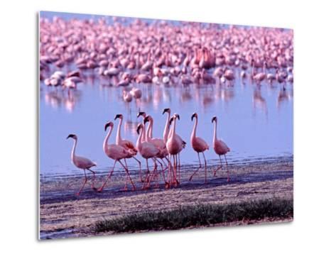 Lesser Flamingo and Eleven Males in Mating Ritual, Lake Nakuru, Kenya-Charles Sleicher-Metal Print