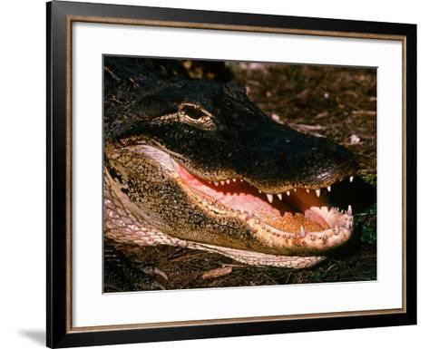 Alligator, Everglades National Park, Florida, USA-Charles Sleicher-Framed Art Print