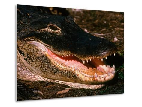 Alligator, Everglades National Park, Florida, USA-Charles Sleicher-Metal Print