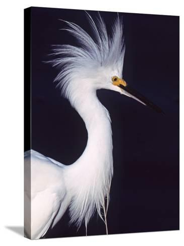 Portrait of a Snowy Egret in Breeding Plumage, Ding Darling NWR, Sanibel Island, Florida, USA-Charles Sleicher-Stretched Canvas Print